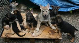 Tsjechoslowaakse Wolfhond en Duitse Herder pups